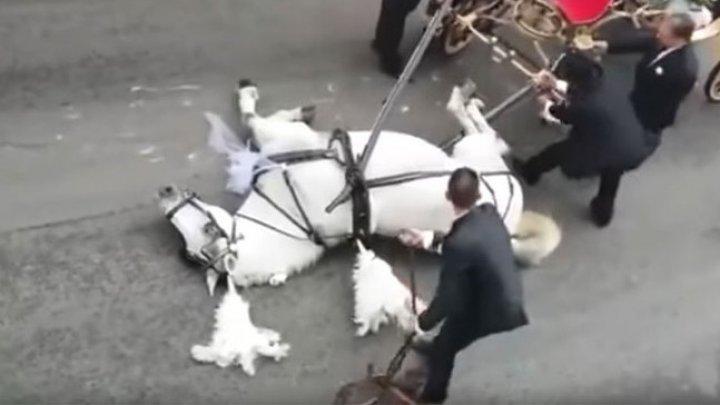 В Италии запряженная в свадебную карету лошадь упала от усталости посреди улицы