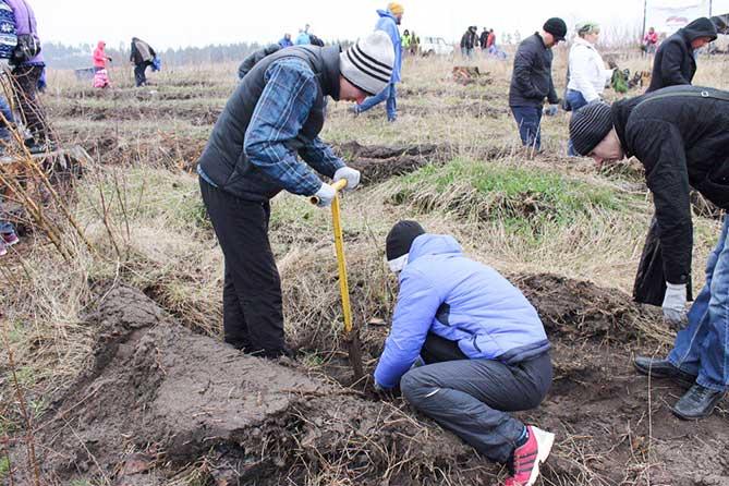 Октябрь 2017: Тольяттинцы высадили более 41 000 саженцев сосны