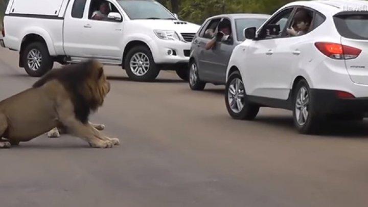 В ЮАР неожиданный поступок льва напугал туристов