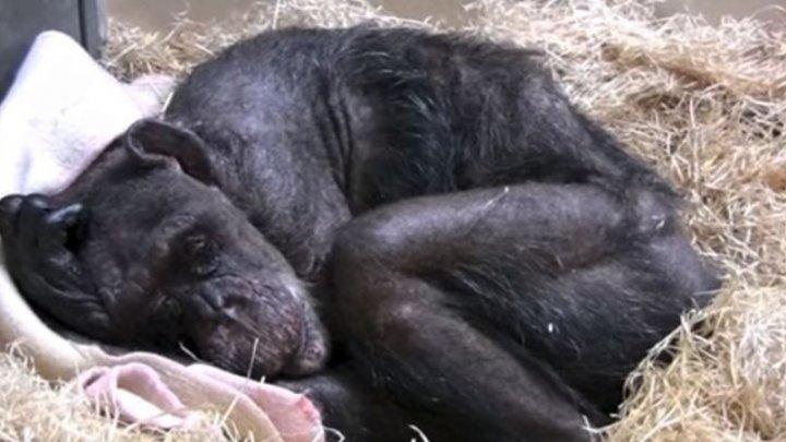 59-летняя умирающая шимпанзе отказывается от еды, но узнав голос своего старого друга как будто оживает