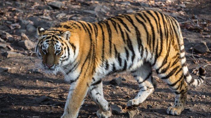 Тигрица, убившая в Индии четырех человек, умерла от удара током