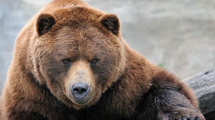 Очевидцы сняли на видео бегающего по поселку медведя-убийцу