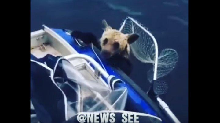 В Карелии рыбаки спасли тонувших в озере медвежат