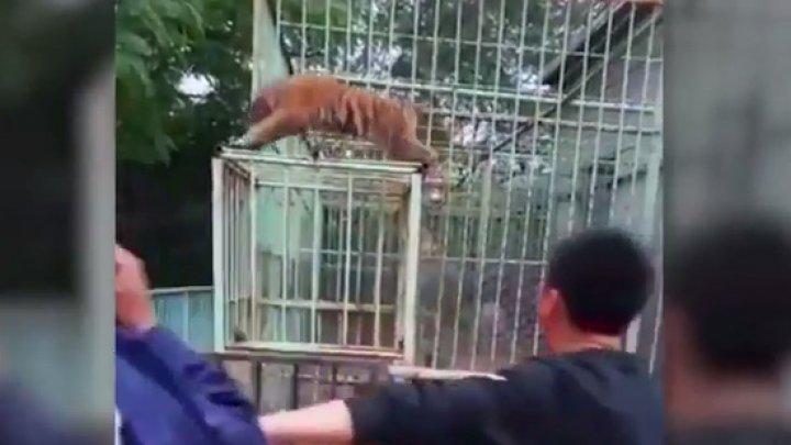 Видео: тигренок взбесился в зоопарке после того, как его разлучили с мамой