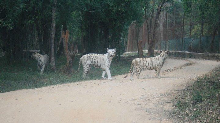 В индийском природном парке белые тигрята растерзали смотрителя