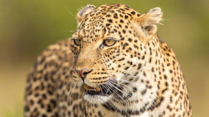 На Кавказе заметили считавшегося вымершим леопарда