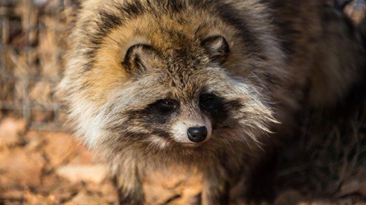 Житель Владимирской области умер после укуса енотовидной собаки
