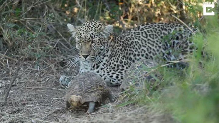 Влюбленные черепахи помешали леопарду охотиться: видео