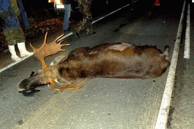 Сбит лось на дороге