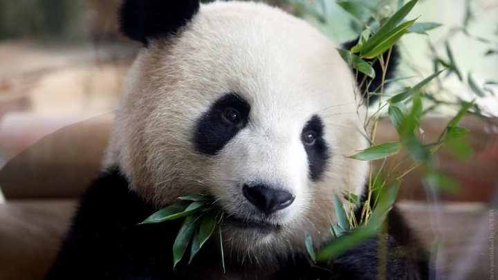 Детеныша гигантской панды, которая родилась в Малайзии, накануне отвезли в Китай