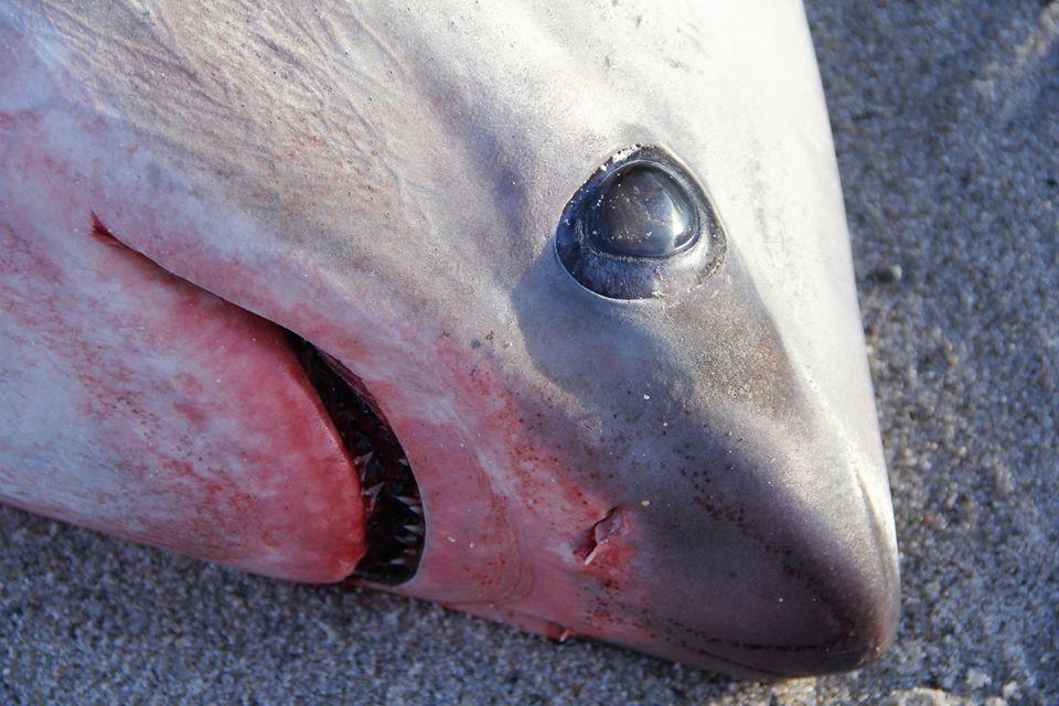 На побережье Атлантического океана акулы замерзли насмерть