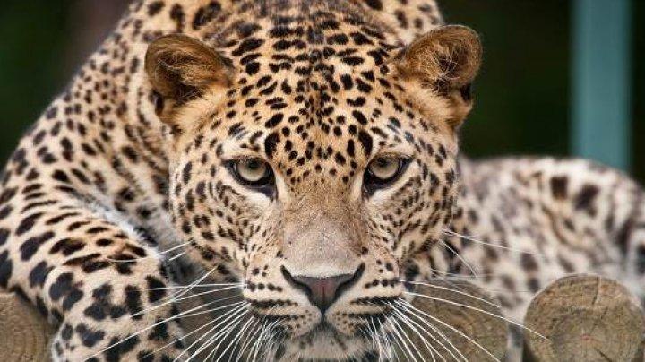Нападение леопарда на детей обернулось условным сроком для директора зоопарка