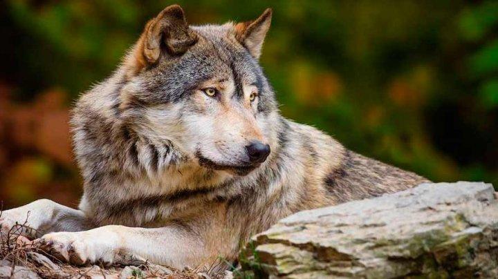 Волки стали выходить к школам и домам в Северной Италии