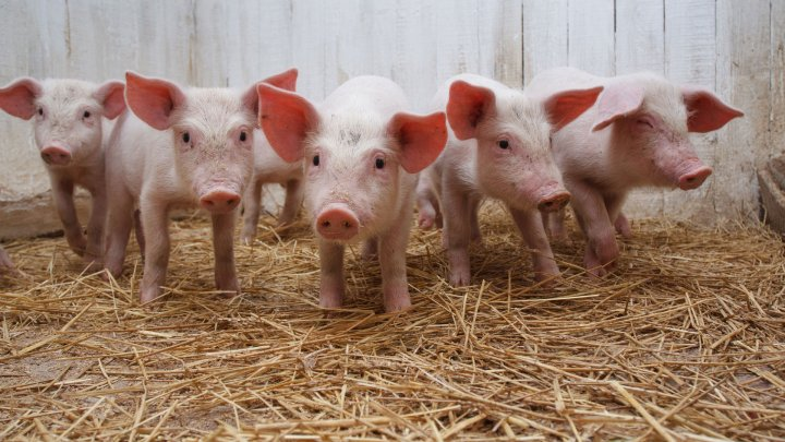 Почти тысяча поросят погибли при пожаре на свиноферме под Уфой