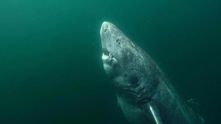Обнаружена акула возрастом более 500 лет