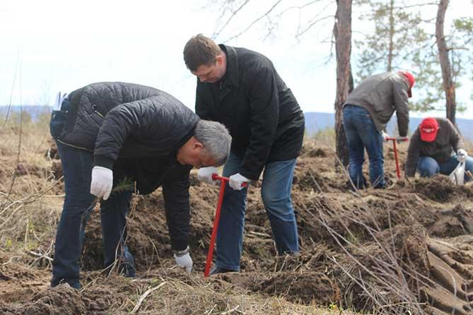 В апреле 2018 года в Тольятти высажено 165 000 саженцев сосен