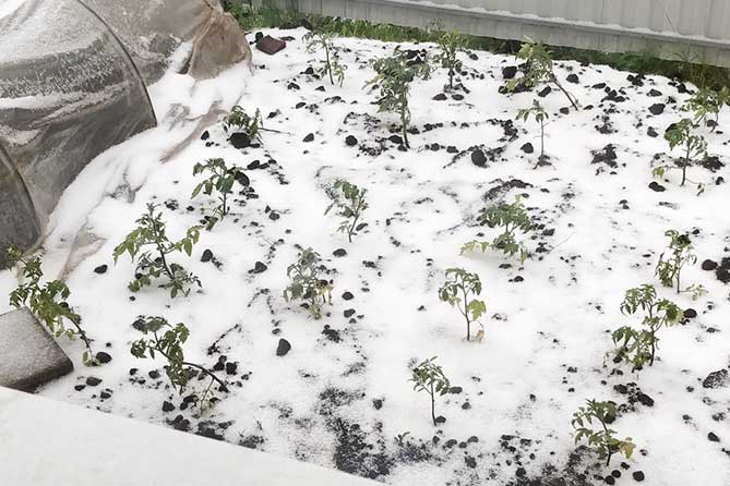 замерзшая рассада томатов 1 июня