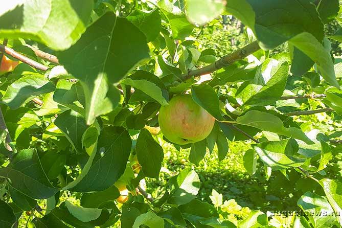 Пришел Спас – яблочко припас
