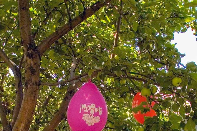 Яблони живут около ста лет