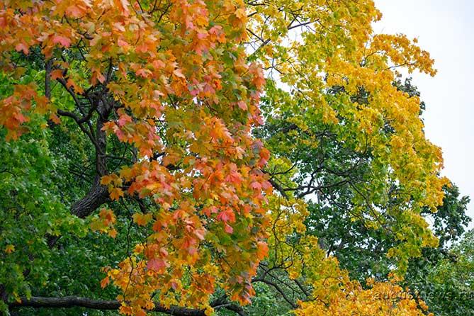 Сентябрь, листопадник, златоцвет