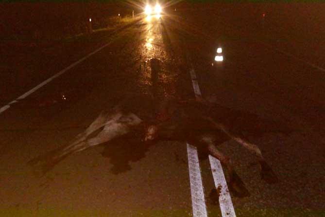 На территории «Самарской Луки» водитель насмерть сбил лося