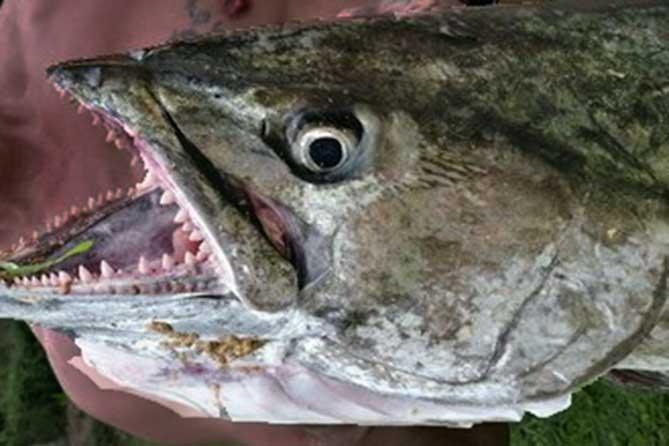 Житель Самарской области поймал огромного собакозубого тунца