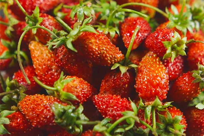 В Самарской области почти 12,5 га орошаемых площадей будет засажено садовой земляникой из Италии