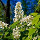 За две недели цветения черемухи хотя бы раз обязательно происходит похолодание