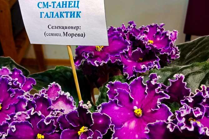 В Тольятти прошла выставка фиалок от Елены Коршуновой