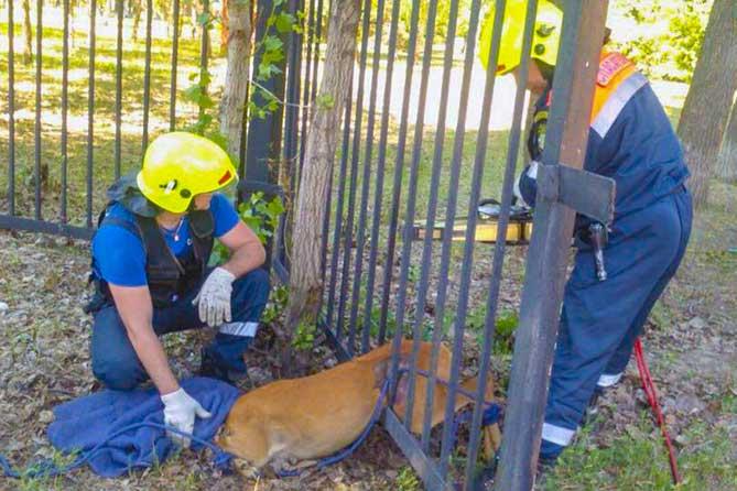 Спасенная косуля: Это произошло в Тольятти