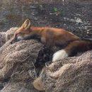 В Тольятти на территории лицея обнаружили лису