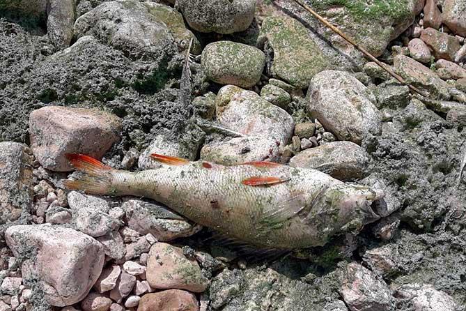 мертвая рыба лежит на камнях берега Волги