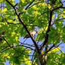 Самому старому в Тольятти дереву 310 лет