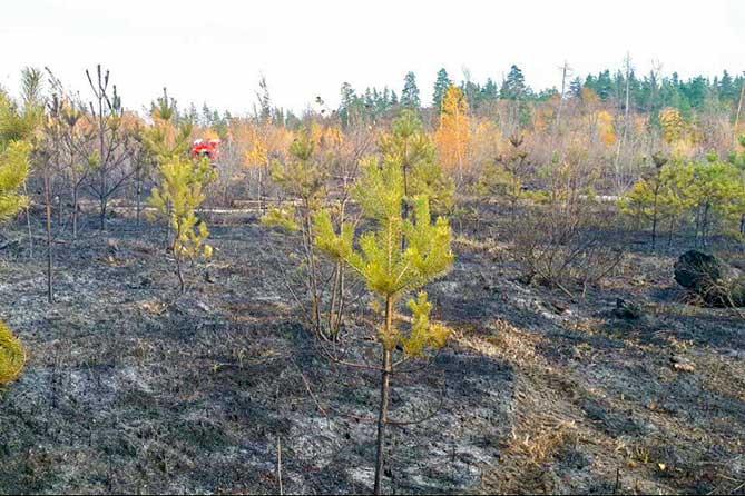 что стало в лесу после пожара